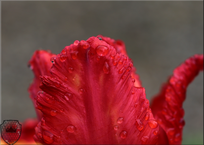 Blood Red Tulip