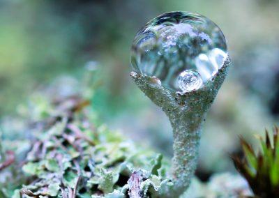 Cladonia Bubbles