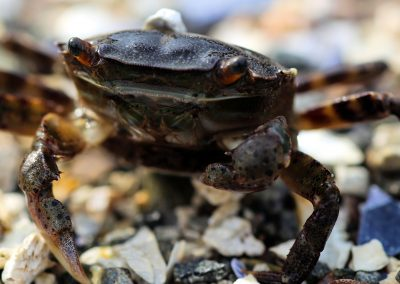 One Clawed Asian Shore Crab