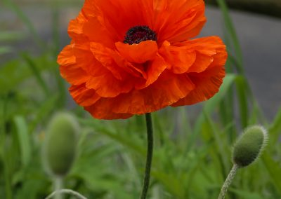 Poppies Popping