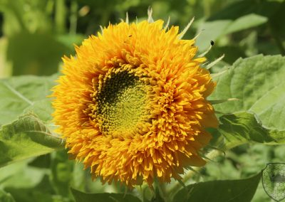 Teddy Bear Sun Flower