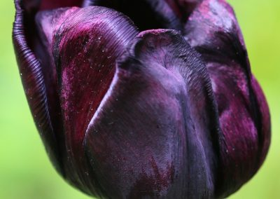 Tulip - Purple